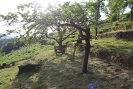 Patenschaft für einen alten Streuobstbaum