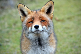 Lovely fox