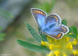Het Icarusblauwtje ( vrouwtje )