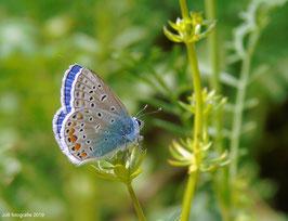 Het Icarusblauwtje ( Mannetje )