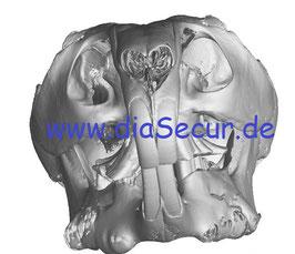 Chinchilla Schädel mit typischen pathologischen Veränderungen