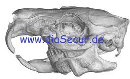 Meerschweinchen Schädel Set mit patologischem Wechselkiefer