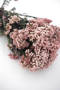 Stabilisierte Diosmi - Strauß Rosa Trockenblumen