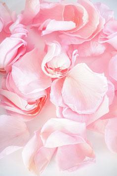 Stabilisierte Rosenblätter Kiara Bridal Pink Trockenblumen