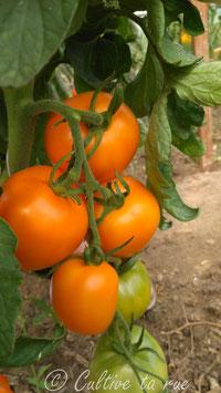 Calli orange