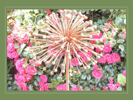 Edelrost Blume - Allium Schuberti - Igelkolbenlauch