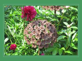 Edelrost Blume - Wiesenkerbel