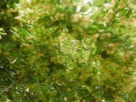 Bio Lindenblüten Hydrolat