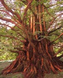 Mammutbaum Hydrolat