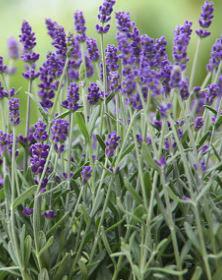 Bio Lavendel Öl