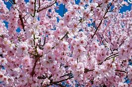 Bio Kirschblüten Hydrolat