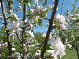 Bio Apfelblüten Hydrolat