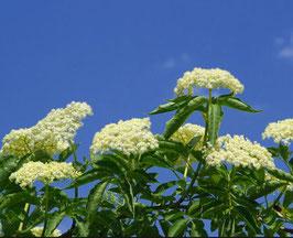 Bio Holunderblüten Hydrolat