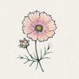 Jora Dahl Cosmos bipinnatus 'Apricot Lemonade' Kosmee