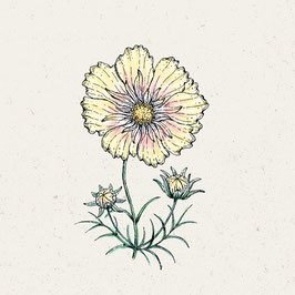 Jora Dahl Cosmos bipinnatus 'Xanthos' Kosmee
