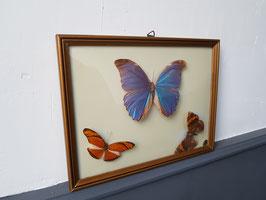 Anciens papillons sous cadre naturalisés entomologie taxidermie