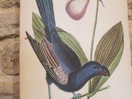 Ancienne planche lithographie naturaliste Die Ganz schawrze Dohle