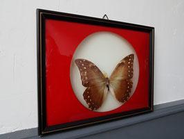Ancien papillon sous cadre naturalisés entomologie taxidermie