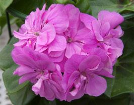 "Halbhänge Pelargonie ""Lilac Blue"""