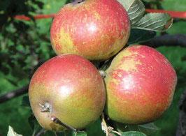 """Herbstapfel """"Karmijn de Sonnaville"""" Halbstamm"""