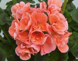 """Stehende Pelargonie  Eroica """"apricot lachs"""""""