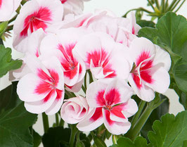 Stehende Pelargonie  Smokey Eye White