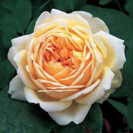 Englische Rose 'Jude The Obscure'
