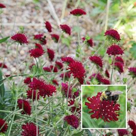 Knautia macedonica - Mazedonische Witwenblume