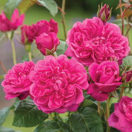 Englische Rose 'James L. Austin'