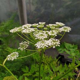 Pleurospermum camtschaticum BSWJ12627