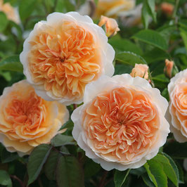 Englische Rose 'Port Sunlight'