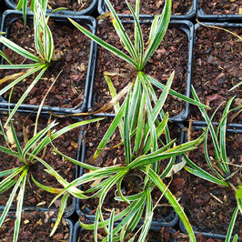 Ophiopogon planiscapus f. leucanthus 'Little Tabby'
