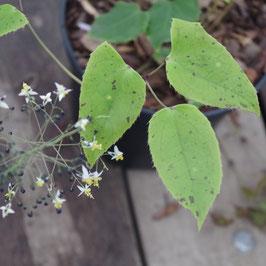 Epimedium truncatum Cc030557