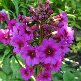 Primula japonica 'Carminea' - Japanische Etagen-Schlüsselblume