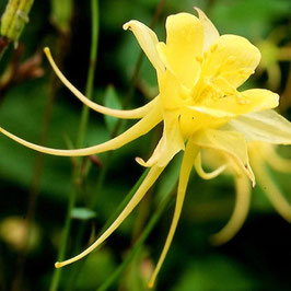 Aquilegia chrysantha 'Yellow Queen' - Gold-Akelei