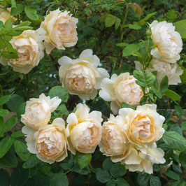 Englische Rose 'Wollerton Old Hall'