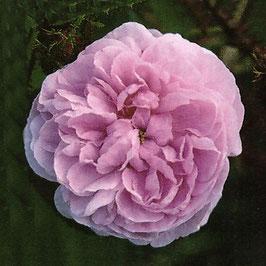 'Centifolia Muscosa' (Centifolia-Moosrose)