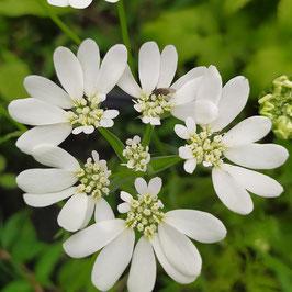 Orlaya grandiflora - Strahlen-Breitsame, Schloßblume
