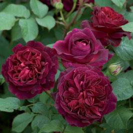 Englische Rose 'Munstead Wood'