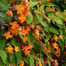 Begonia sutherlandii - Sutherland-Begonie
