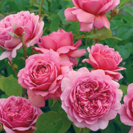 Englische Rose 'Princess Alexandra Of Kent'