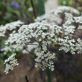 Anthriscus sylvestris 'Ravenswing' - Purpur-Wiesen-Kerbel