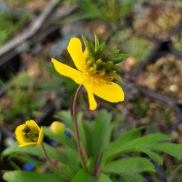 Anemone ranunculoides 'Golden Dream' - Gelbes Windröschen