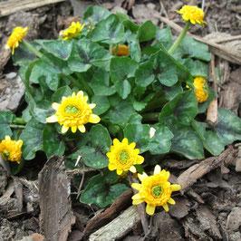 Ranunculus ficaria 'Colarette'