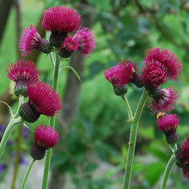 Cirsium rivulare 'Atropurpureum' - Purpur-Kratzdistel, Pflaumen-Distel