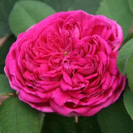 'Rose de Resht' (Portland-Rose)