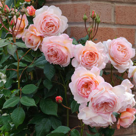 Englische Rose 'A Shropshire Lad'