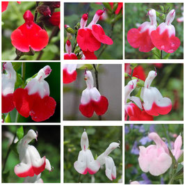 Salvia greggii 'Hot Lips'