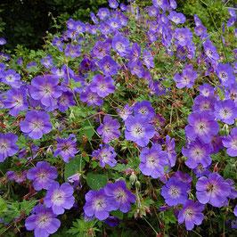 Geranium hybr. 'Rozanne'