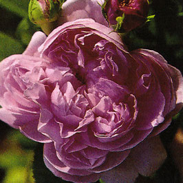 'Jacques Cartier' (Portlandrose)